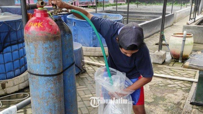Oksigen Langka, Peternak Ikan Koi di Blitar Khawatir Tak Bisa Kirim ke Luar Kota