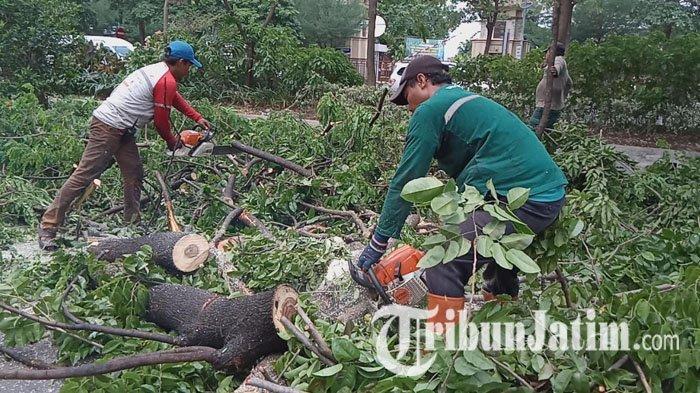 Antisipasi Pohon Tumbang Saat Angin Kencang, Pemkot Surabaya Lakukan Perantingan Pohon di Jl A Yani