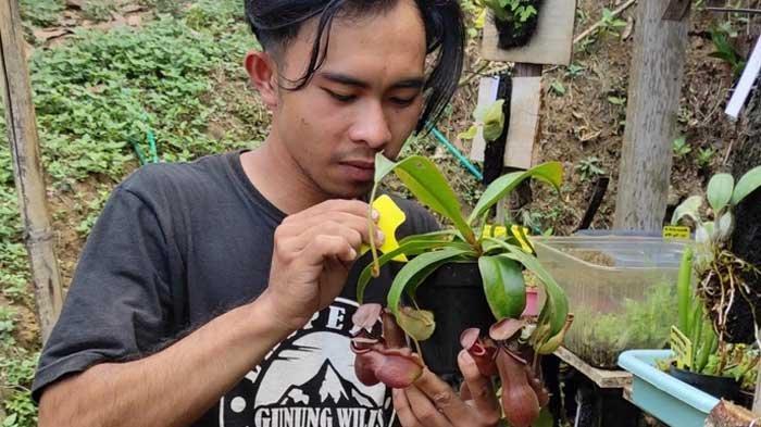 Budi Daya Kantong Semar, Tanaman Pemakan Serangga di Kaki Gunung Wilis Kabupaten Madiun