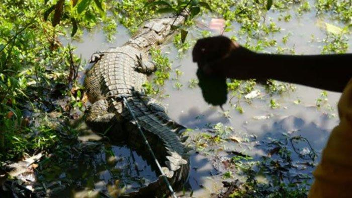 Cari Ikan Sapu-sapu di Sungai Sadar Mojokerto, Pria Ini Malah Dapat Buaya 2 Meter