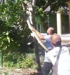 Ular Piton Sepanjang 5 Meter Nangkring di Pohon Dekat Sekolah TK di Gresik