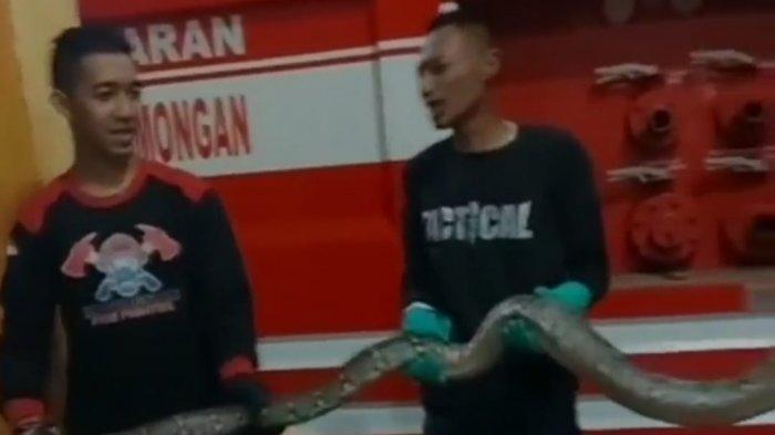 Teror 2 Jenis Ular Gegerkan Warga Lamongan, Petugas Damkar Turun Tangan Tangkap Ular Sanca dan Kobra