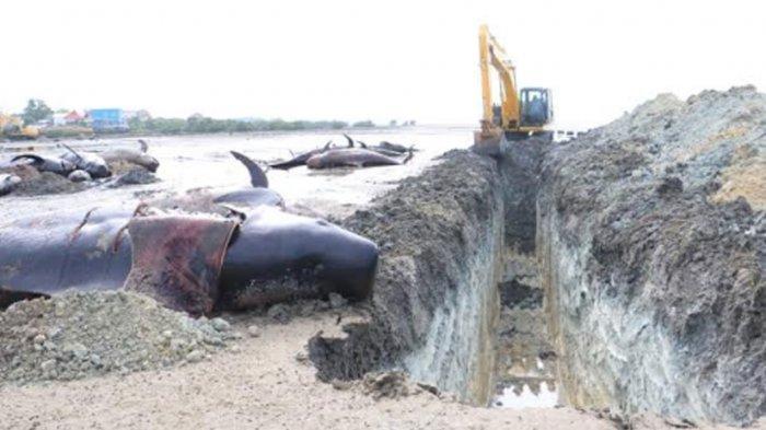 51 Ikan Paus Mati Terdampar di Bangkalan, 2 Eskavator Pemprov Jatim Dikerahkan Melakukan Penguburan