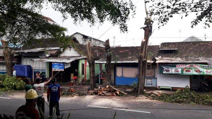 Mencegah Pohon Ambruk, Puluhan Pohon Sepatudea Tua Diganti Tabebuya dan Pule