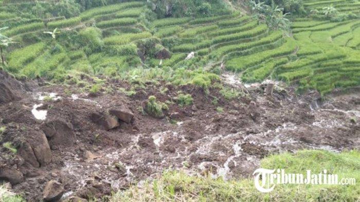 Longsor Lahan 800 Meter di Lereng Gunung Penanggungan, Rusak Padi Berusia 80 Hari dan Kandang Sapi