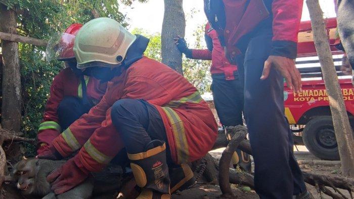 Seekor Monyet Liar Ganggu Warga Kedung Asem, Sempat Lukai Bocah, Kini dievakuasi Damkar Probolinggo
