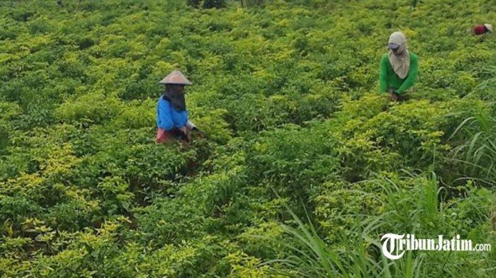 Harga Cabai Rawit di Mojokerto Tembus Rp 120 Ribu per Kilo, Bulog Turun Tangan Carikan Supplier