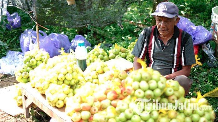 Wisatawan Petik Apel diKota Batu Terancam Menurun, Serangan Hama Bikin Buah Busuk Mengintai Petani