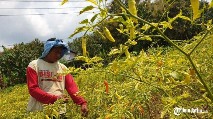 Hujan Buat Petani Cabai di Jember Gelisah Menanti Panen di Bulan Oktober