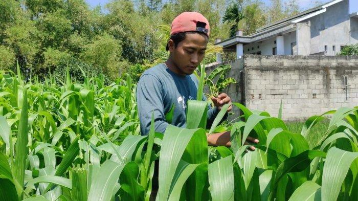 Hama Ulat Menyerang, Petani Jagung di Madiun Was-was Hasil Panen Turun