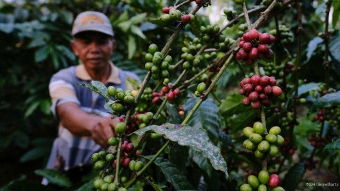 Berkat Diversifikasi Pangan, Petani Kopi Kabupaten Malang Terlindungi dari Pandemi Covid-19