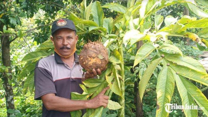 Berkat Panen Porang, 68 Warga Desa Durenan Bisa Bangun Rumah di Tengah Pandemi, 'Libas Kemiskinan'