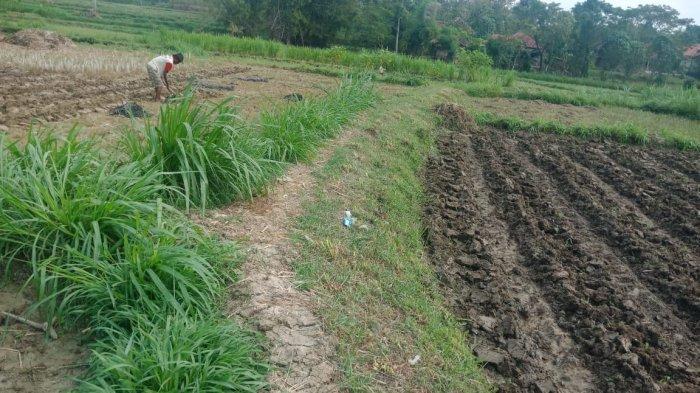 Program Penangkaran Bibit Tembakau Ditiadakan, Dinas Pertanian Sampang Berinisiatif Program Lain