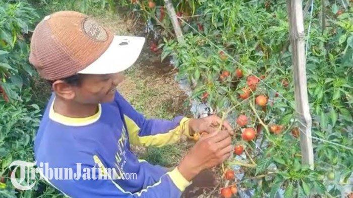 Tomat 1 Kg Dihargai Rp 500, Petani Kediri Lemas, Ketimbang Rugi Pilih Tak Panen: Biar Membusuk