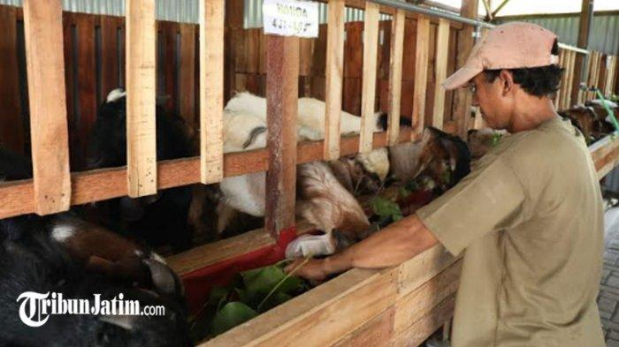 Cerita Pemilik Candi Farm Sidoarjo Bisa Raup Omzet Ratusan Juta, Awalnya Jualan 5 Ekor Hewan Kurban