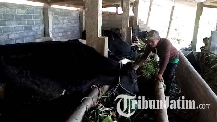 Produksi Susu di Sidomulyo Tulungagung Tak Terpengaruh Antraks, Para Peternak Sudah Hidup Normal