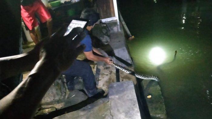 Bikin Geger, Ular Piton Sepanjang 4 Meter Muncul di Belakang Rumah Warga Tuban