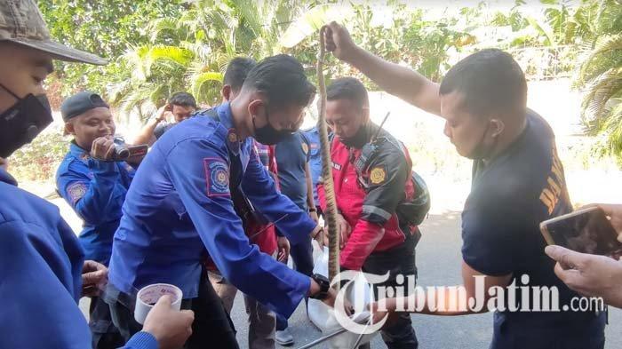 Sempat Diserang, Petugas Damkar Kota Probolinggo Berhasil Evakuasi Ular yang Sembunyi di Taman