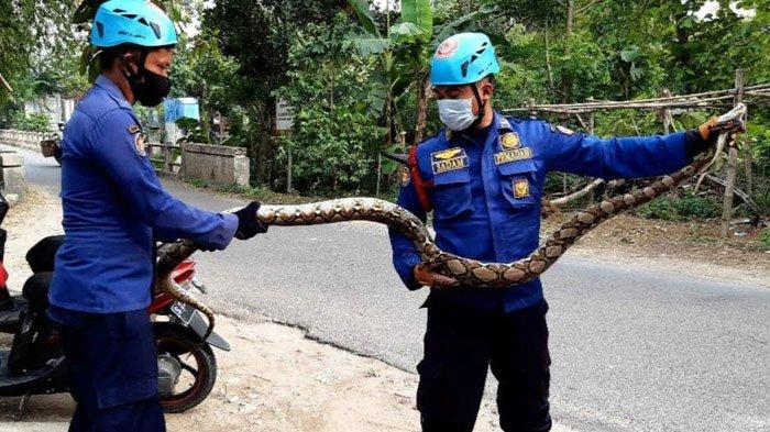 Buat Resah Warga, Ular Piton Sepanjang 3,5 Meter di Bojonegoro Diamankan Petugas