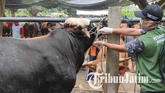 Cek Hewan Kurban di Kota Blitar, Petugas Temukan Sapi Belum Cukup Umur di Pasar Dimoro