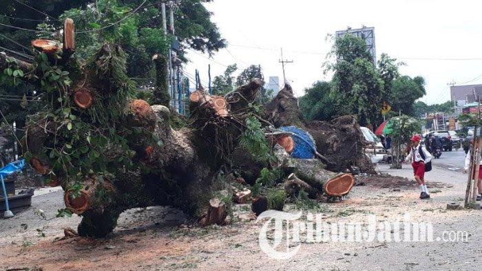 Mengenal Pohon Trembesi di Surabaya, Pohon Kokoh yang Mudah Tumbang, Bagaimana Bisa?