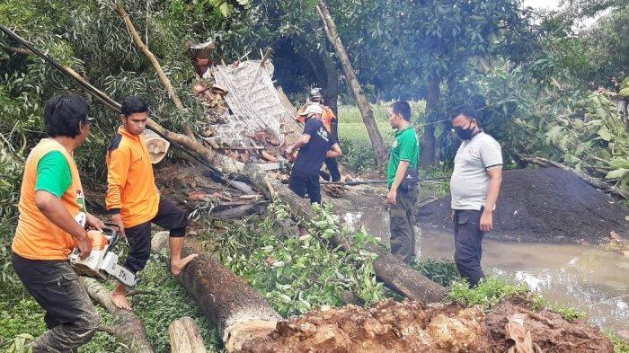 Sejumlah Pohon di Tiga Desa Pamekasan Tumbang Serentak, Timpa Rumah Warga dan Penggilingan Padi