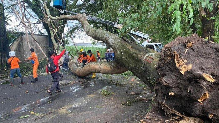 Dalam Sehari, Terjadi Pohon Tumbang di Dua Tempat di Kota Malang, BPBD Sigap Lakukan Evakuasi