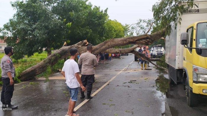 Angin Puting Beliung Terjang Sumenep, Pohon Roboh Akibatkan Sejumlah Akses Jalan Macet di Sumenep