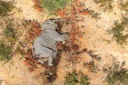 Ratusan Gajah Mati Misterius, Tubuhnya Utuh dan Tunjukkan Gejala Pincang-Sekarat, Bukan Perburuan