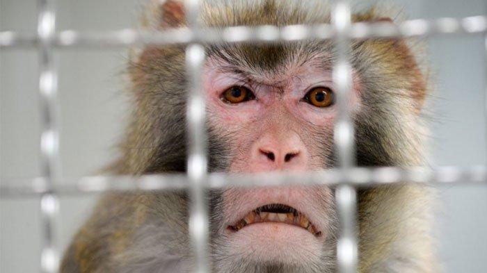 18 Monyet Jadi 'Tumbal' untuk Temukan Obat Virus Corona, Disuntik dengan Covid-19 Lalu Diberi Vaksin