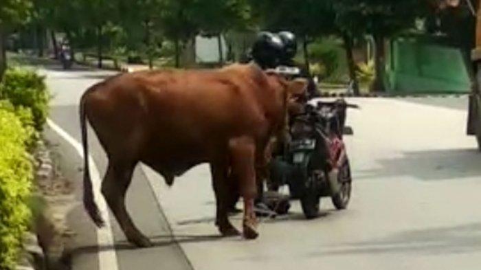 Viral Sapi Limousin Ngamuk di Jalan Raya Tuban, Bikin Panik Pengguna Jalan, Seruduk Mobil dan Motor