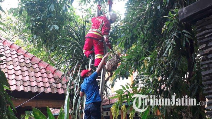 2 Sarang Tawon Ndas di SMAN 8 Kota Malang Dievakuasi Petugas Damkar, Aksinya Menarik Perhatian Warga