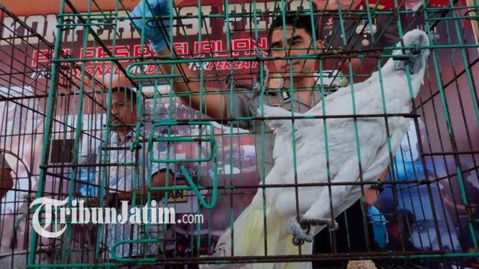 Satwa Langka Hasil Penggerebekan di Pasuruan Dititipkan BBKSDA Jatim, 4 Buaya Muara Dibawa ke Batu