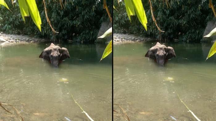 POTRET Gajah Hamil Makan Nanas 'Petasan' sebelum Mati, Jalan saat Terluka Lalu ke Sungai: Kesakitan