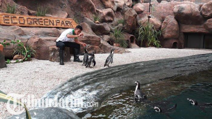 Seorang keeper, Eka Bagus Pratama, saat memberi makan Penguin Humboldt di Eco Green Park.