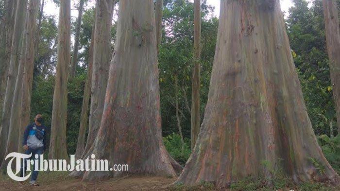 Warna pada Batang Pohon Eucalyptus Deglupta di Hutan Pelangi Bondowoso Muncul Secara Alami
