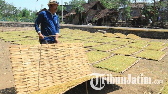 Harga Tembakau di Probolinggo Tembus Rp 40 Ribu Per Kg, Petani Berharap Cuaca Mendukung