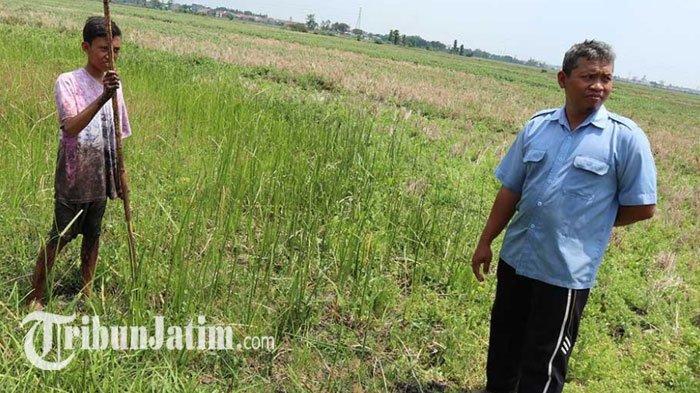 VIRAL Tanah Bergoyang Rawa Jali Jombang Bak Panggung Dangdut, Bikin Warga Penasaran, Dulu Bekas Rawa
