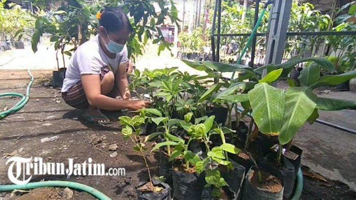 Porang Kini Naik Daun, Owner Kebun Vista Agromedia Surabaya: Tanaman Kuat, Harga Lumayan Stabil