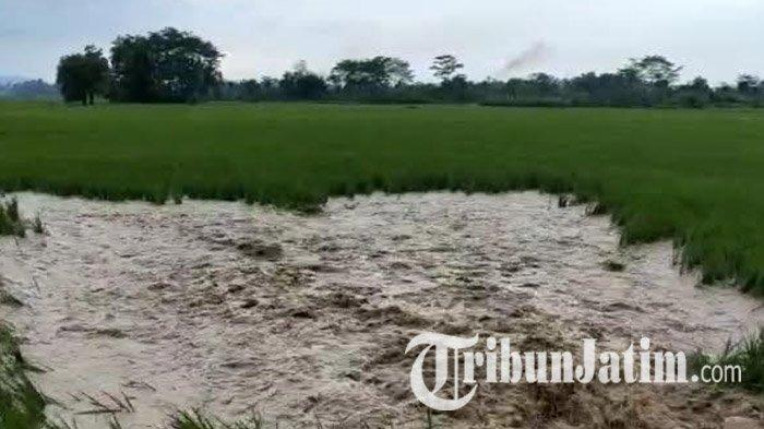 Ratusan Hektare Tanaman Padi dan Bawang Merah di Tulungagung Rusak Terdampak Banjir