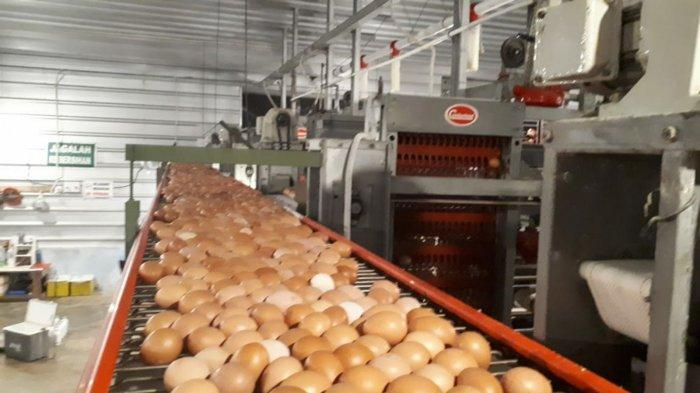 Ancaman Rugi Peternak Mojokerto saat Harga Telur Ayam Anjlok, Hanya 14 Ribu per Kg: Minim Permintaan