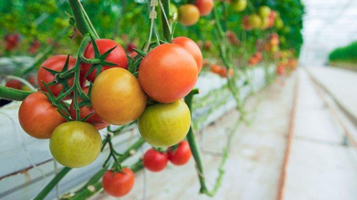 Tomat hijau