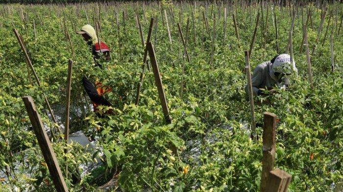 DKPP Kota Kediri Borong Panen Cabe Petani Dengan Harga di Aatas Pasaran