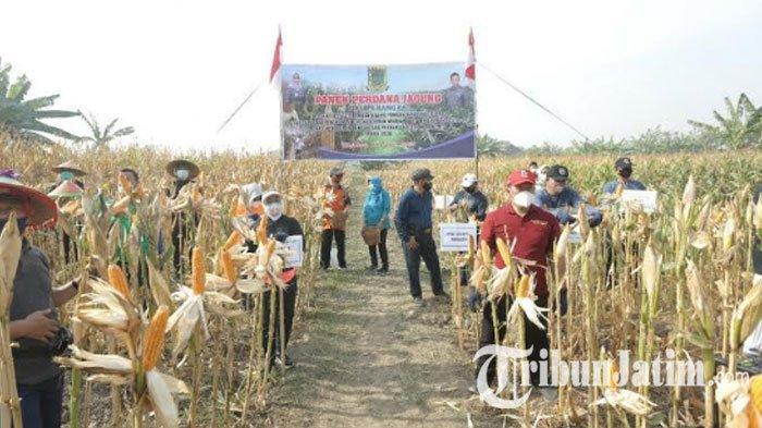 Pemkot Mojokerto Sulap Lahan Aset untuk Tanam Jagung Covid-19, Panen Perdana diHari Pangan Sedunia