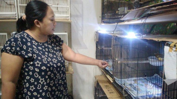 Wanita di Madiun Ini Sukses Ternak Kenari di Tengah Pandemi Covid-19, Sebulan Raup 14 Juta