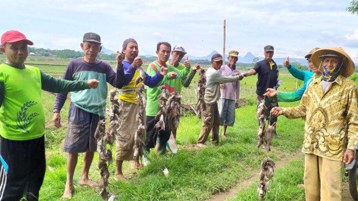 Area Persawahan 5 Kecamatan di Trenggalek Diserang Tikus, Warga Bunuh Ratusan Tikus Pakai Obat Hama