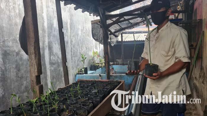 Kampung Jahe Banyuwangi, Ratusan Tanaman Jahe Ditanam Warga Tukangkayu di Pekarangan Sempit