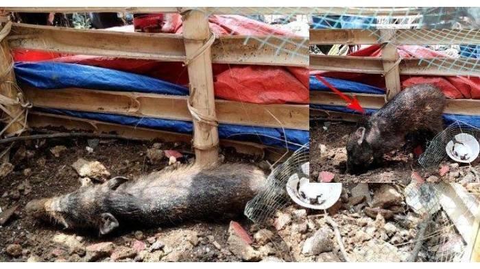 VIRAL TERPOPULER: Sosok Hamid Nama yang Dipakai Pengirim Sate Beracun - Mitos Pesugihan Babi Ngepet