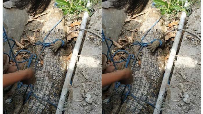 Buaya Sepanjang 2 Meter Sembunyi di Selokan Puskesmas Tuban, Kagetkan Peserta Vaksinasi Covid-19