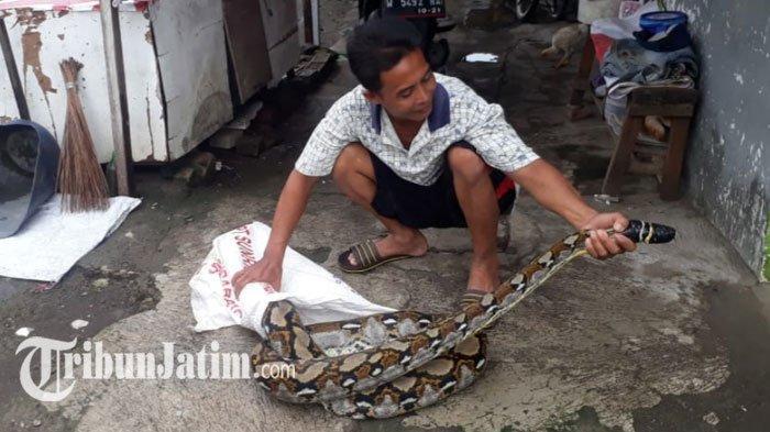GEGERUlar Sanca Kembang 4 Meter Keliaran di Sungai Bikin Resah Warga Sidoarjo, Ditangkap & Ditali